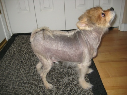 pomeranian dog with almost no hair as if was shaved