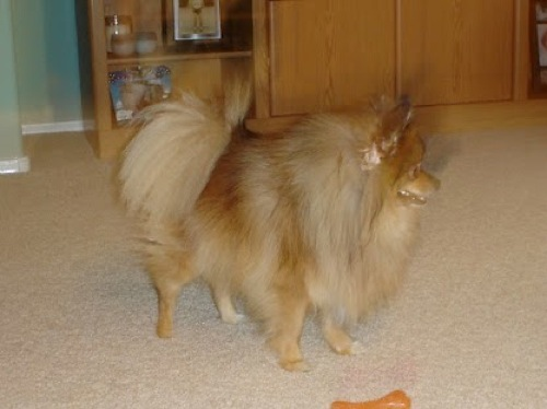 pomeranian dog with coarse hair